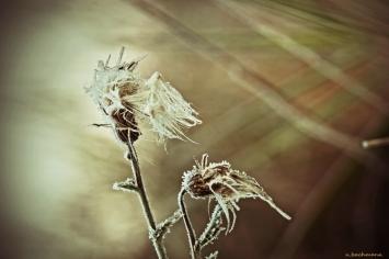 comp_frostblume